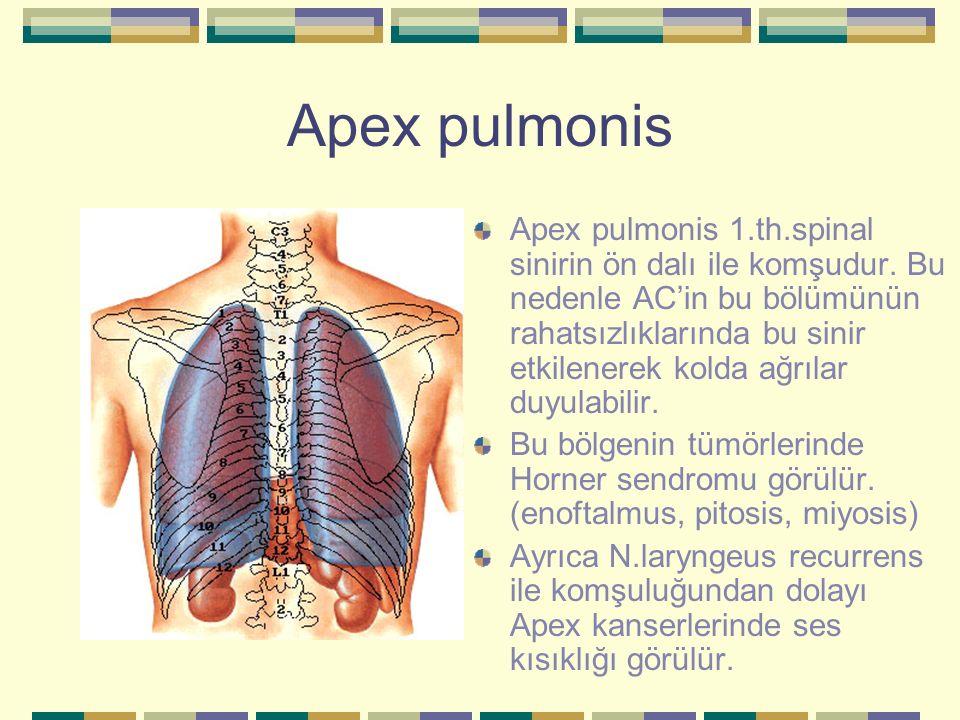 Apex pulmonis Apex pulmonis 1.th.spinal sinirin ön dalı ile komşudur. Bu nedenle AC'in bu bölümünün rahatsızlıklarında bu sinir etkilenerek kolda ağrı