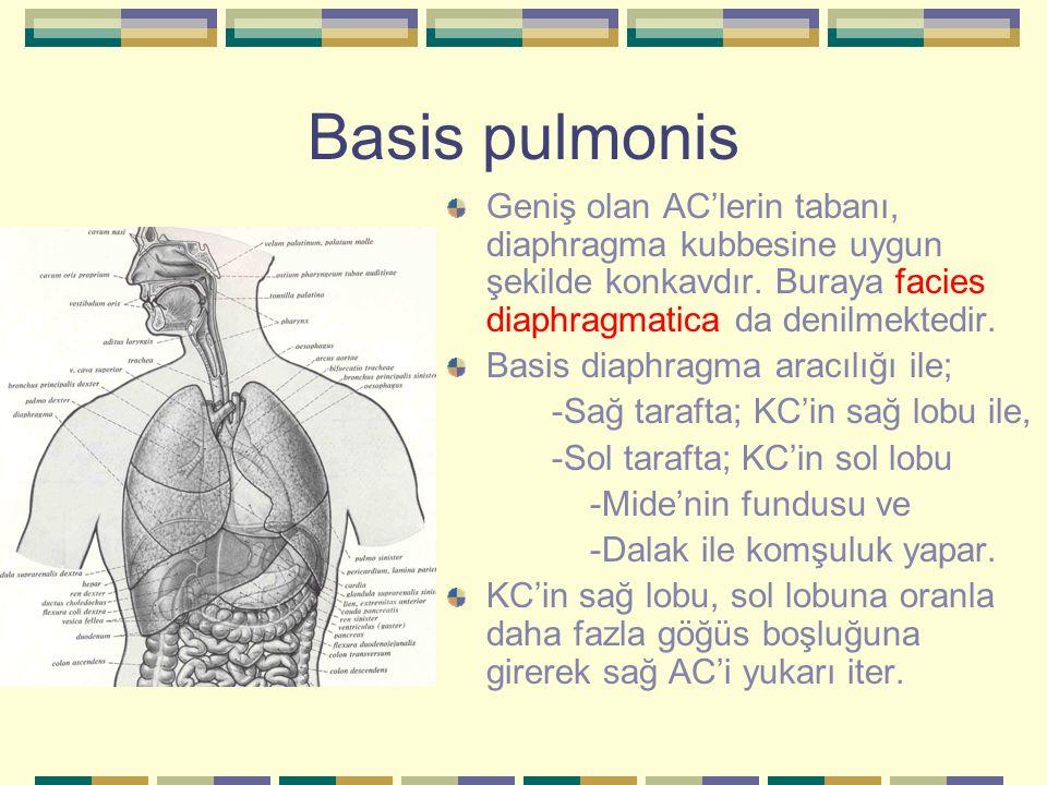 Basis pulmonis Geniş olan AC'lerin tabanı, diaphragma kubbesine uygun şekilde konkavdır. Buraya facies diaphragmatica da denilmektedir. Basis diaphrag