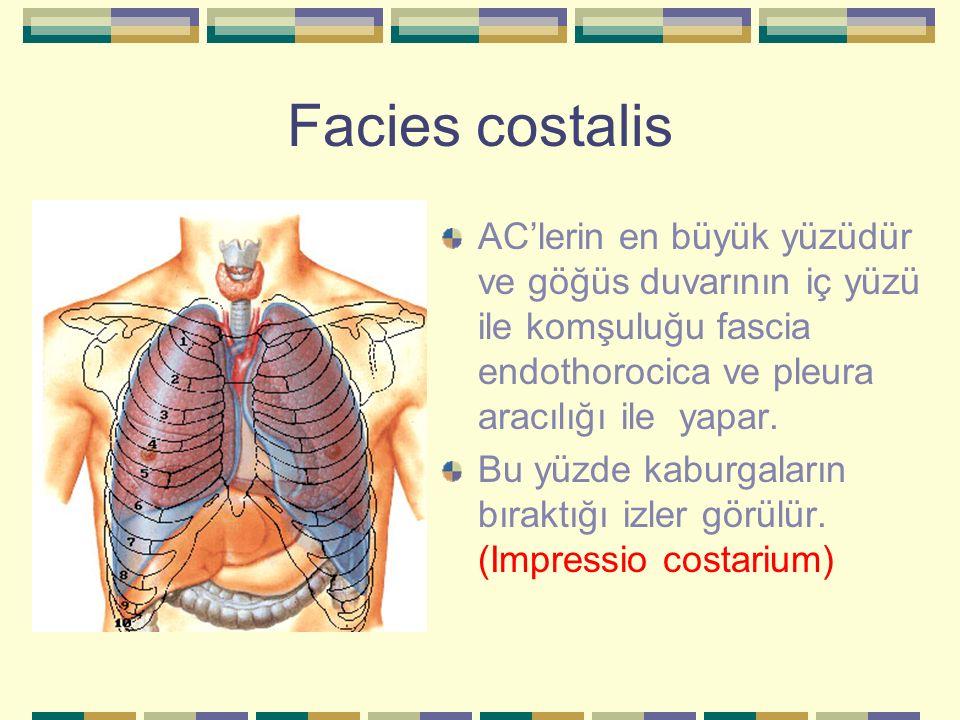 Facies costalis AC'lerin en büyük yüzüdür ve göğüs duvarının iç yüzü ile komşuluğu fascia endothorocica ve pleura aracılığı ile yapar. Bu yüzde kaburg