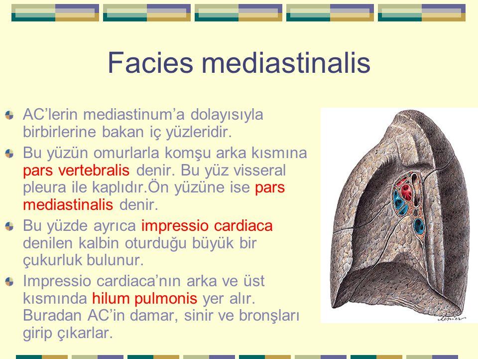 Facies mediastinalis AC'lerin mediastinum'a dolayısıyla birbirlerine bakan iç yüzleridir. Bu yüzün omurlarla komşu arka kısmına pars vertebralis denir