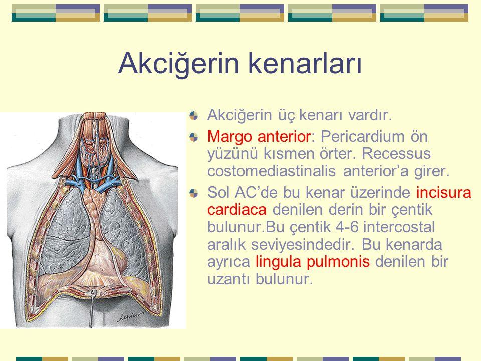 Akciğerin kenarları Akciğerin üç kenarı vardır. Margo anterior: Pericardium ön yüzünü kısmen örter. Recessus costomediastinalis anterior'a girer. Sol