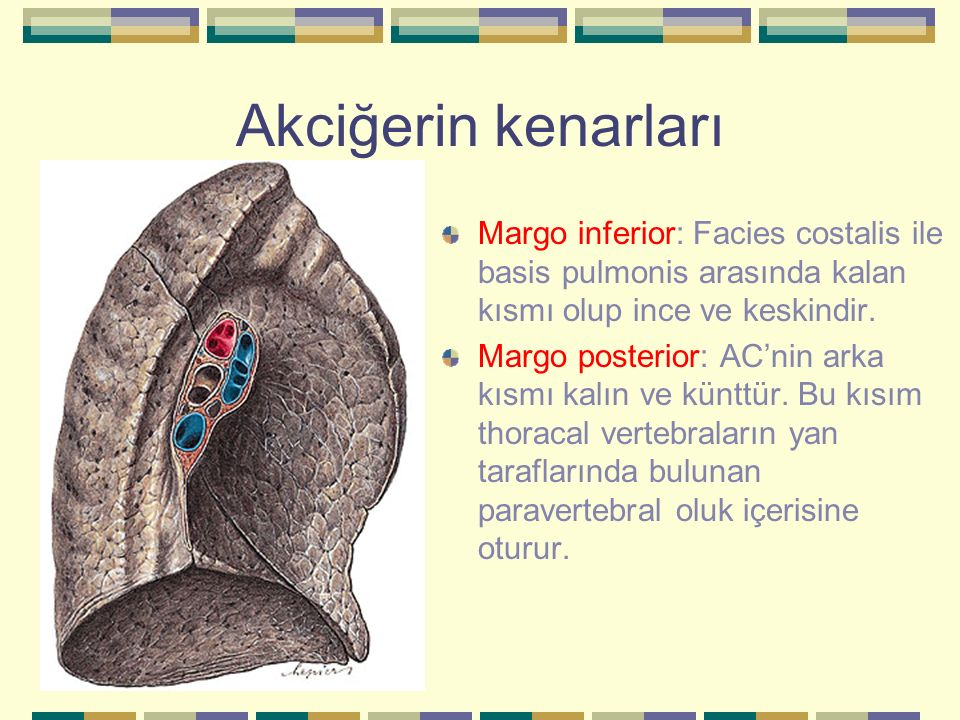 Akciğerin kenarları Margo inferior: Facies costalis ile basis pulmonis arasında kalan kısmı olup ince ve keskindir. Margo posterior: AC'nin arka kısmı