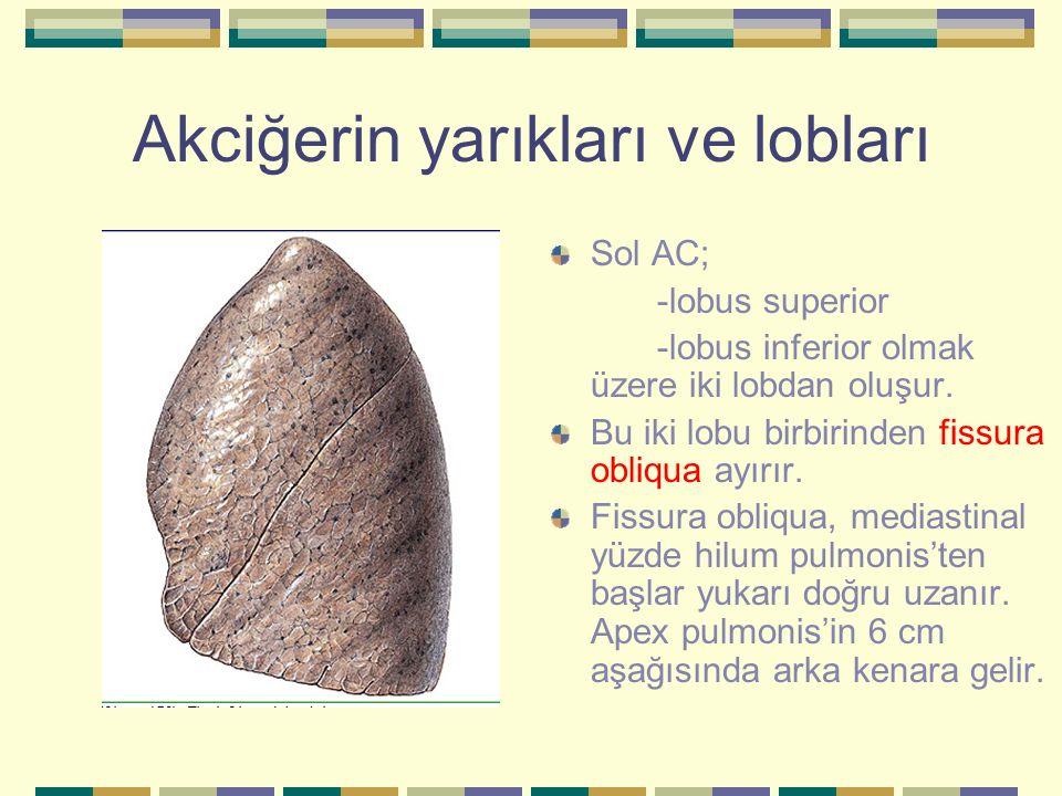 Akciğerin yarıkları ve lobları Sol AC; -lobus superior -lobus inferior olmak üzere iki lobdan oluşur. Bu iki lobu birbirinden fissura obliqua ayırır.