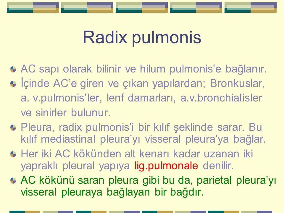 Radix pulmonis AC sapı olarak bilinir ve hilum pulmonis'e bağlanır. İçinde AC'e giren ve çıkan yapılardan; Bronkuslar, a. v.pulmonis'ler, lenf damarla