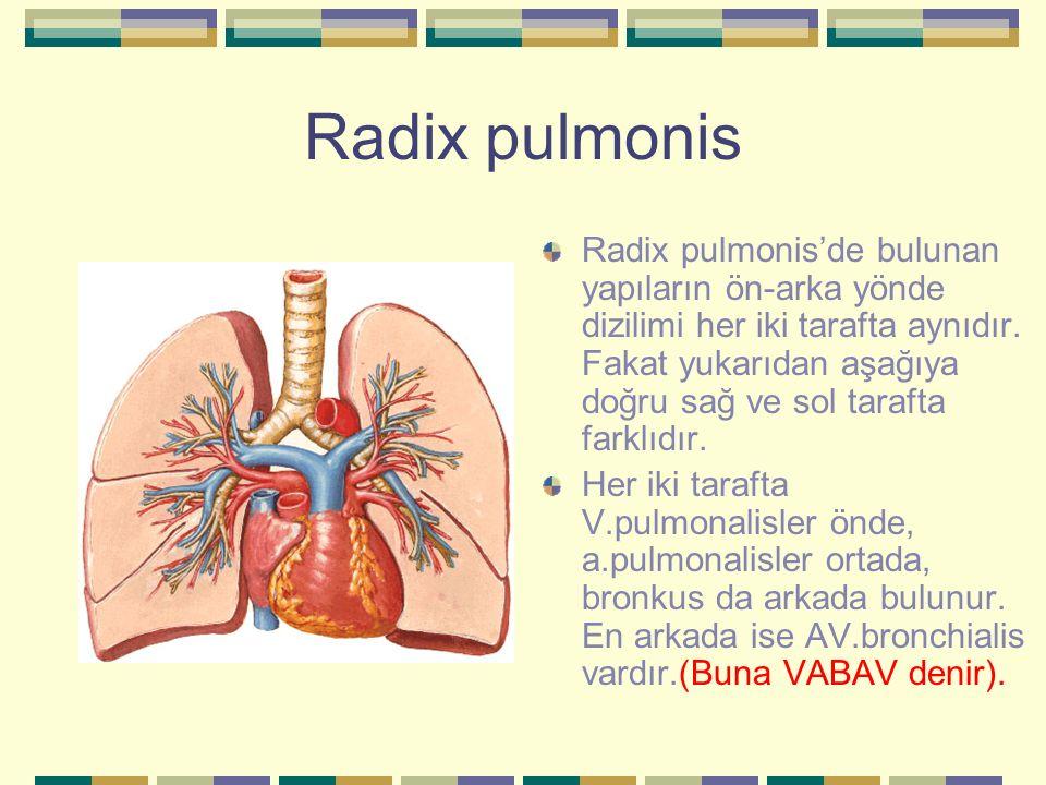 Radix pulmonis Radix pulmonis'de bulunan yapıların ön-arka yönde dizilimi her iki tarafta aynıdır. Fakat yukarıdan aşağıya doğru sağ ve sol tarafta fa