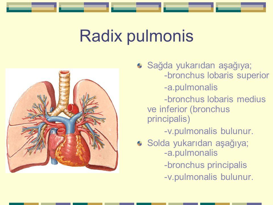 Radix pulmonis Sağda yukarıdan aşağıya; -bronchus lobaris superior -a.pulmonalis -bronchus lobaris medius ve inferior (bronchus principalis) -v.pulmon