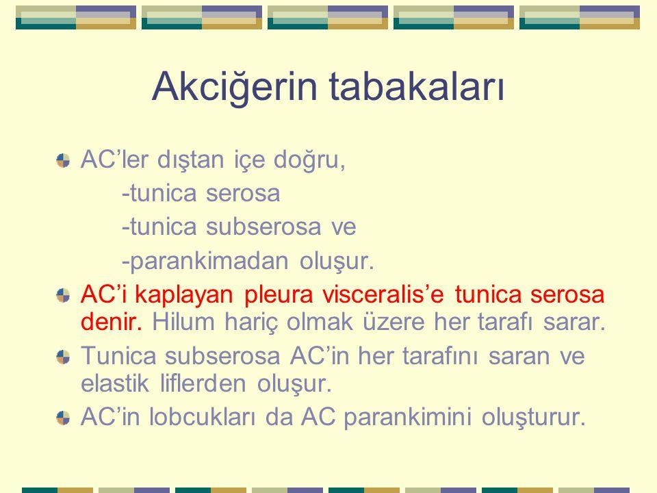 Akciğerin tabakaları AC'ler dıştan içe doğru, -tunica serosa -tunica subserosa ve -parankimadan oluşur. AC'i kaplayan pleura visceralis'e tunica seros