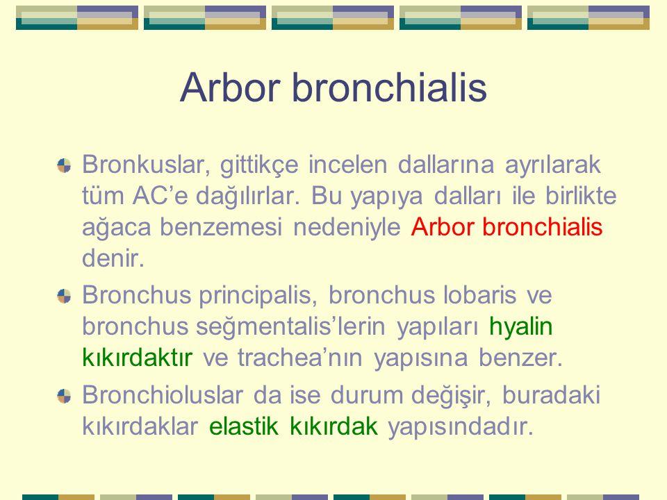 Arbor bronchialis Bronkuslar, gittikçe incelen dallarına ayrılarak tüm AC'e dağılırlar. Bu yapıya dalları ile birlikte ağaca benzemesi nedeniyle Arbor