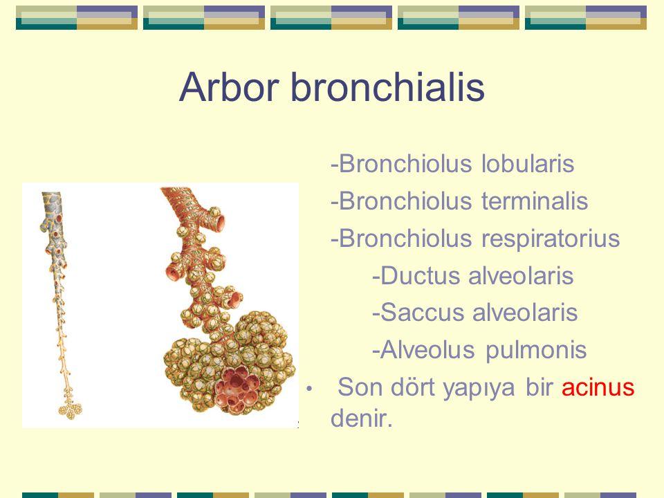Arbor bronchialis -Bronchiolus lobularis -Bronchiolus terminalis -Bronchiolus respiratorius -Ductus alveolaris -Saccus alveolaris -Alveolus pulmonis S