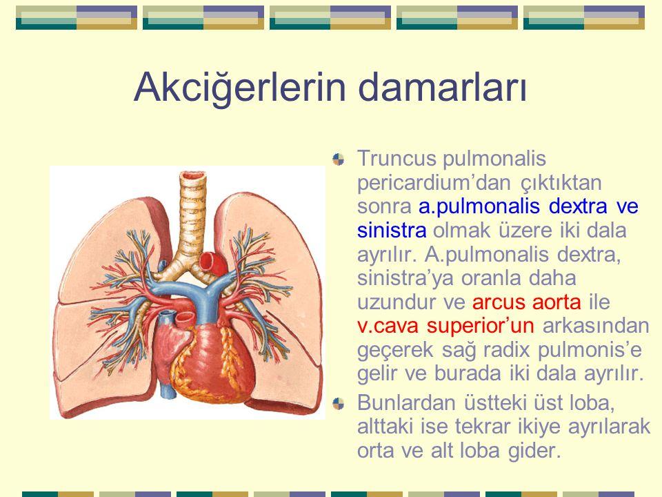 Akciğerlerin damarları Truncus pulmonalis pericardium'dan çıktıktan sonra a.pulmonalis dextra ve sinistra olmak üzere iki dala ayrılır. A.pulmonalis d