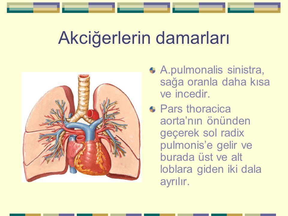 Akciğerlerin damarları A.pulmonalis sinistra, sağa oranla daha kısa ve incedir. Pars thoracica aorta'nın önünden geçerek sol radix pulmonis'e gelir ve