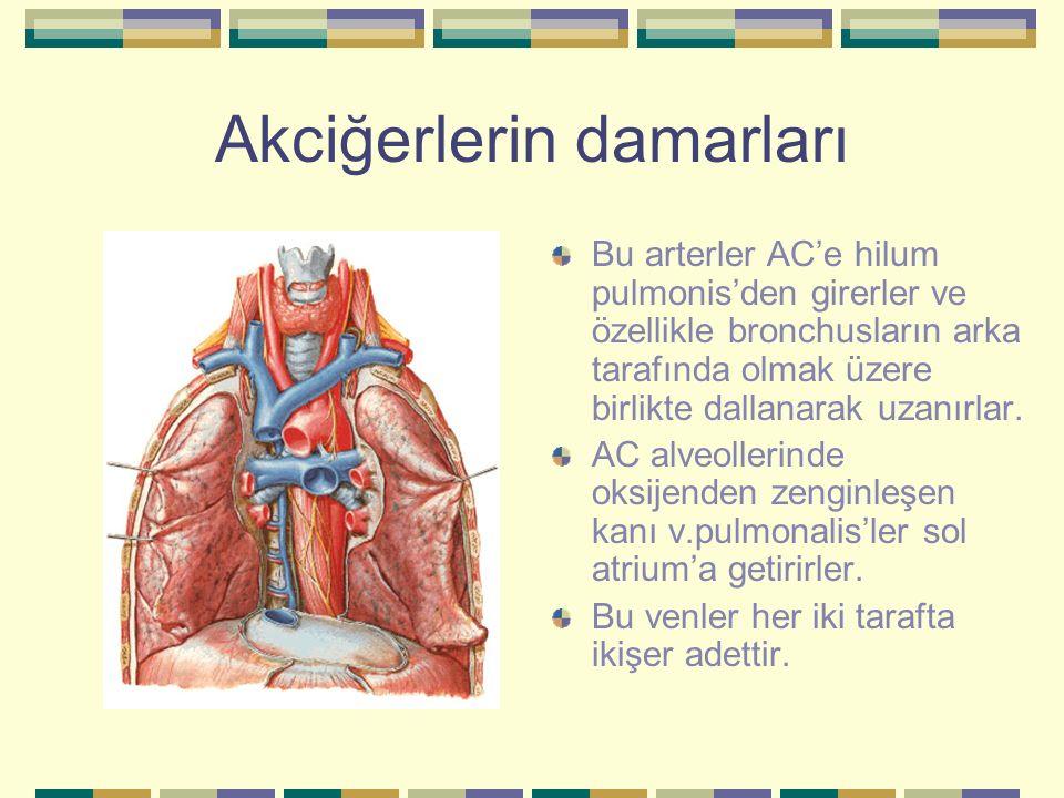 Akciğerlerin damarları Bu arterler AC'e hilum pulmonis'den girerler ve özellikle bronchusların arka tarafında olmak üzere birlikte dallanarak uzanırla