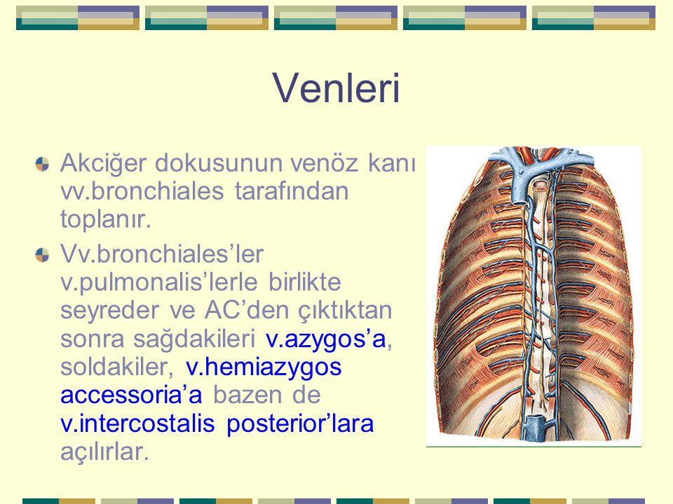 Venleri Akciğer dokusunun venöz kanı vv.bronchiales tarafından toplanır. Vv.bronchiales'ler v.pulmonalis'lerle birlikte seyreder ve AC'den çıktıktan s