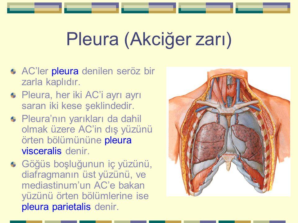 Pleura (Akciğer zarı) AC'ler pleura denilen seröz bir zarla kaplıdır. Pleura, her iki AC'i ayrı ayrı saran iki kese şeklindedir. Pleura'nın yarıkları