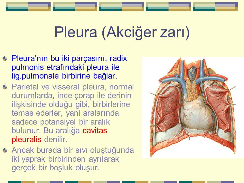 Pleura (Akciğer zarı) Pleura'nın bu iki parçasını, radix pulmonis etrafındaki pleura ile lig.pulmonale birbirine bağlar. Parietal ve visseral pleura,
