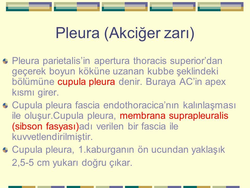Pleura (Akciğer zarı) Pleura parietalis'in apertura thoracis superior'dan geçerek boyun köküne uzanan kubbe şeklindeki bölümüne cupula pleura denir. B