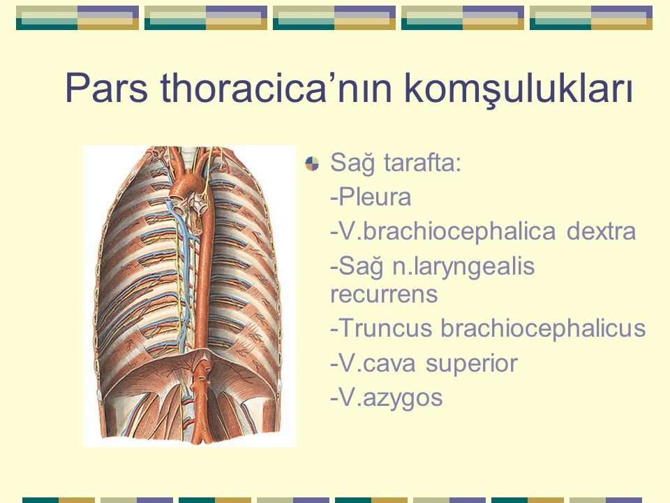 Pleura (Akciğer zarı) Pleura parietalis'in -pars cervicalis (apex pulmonis'i örten bölüm) -pars costalis (kaburgaların üzerini örter) -pars diaphragmatica (diaphragma'nın üzerini örter) -pars mediastinalis (mediastinum'un üzerini örter)