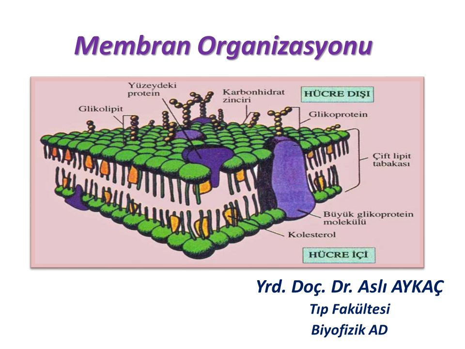 Membran Organizasyonu Yrd. Doç. Dr. Aslı AYKAÇ Tıp Fakültesi Biyofizik AD