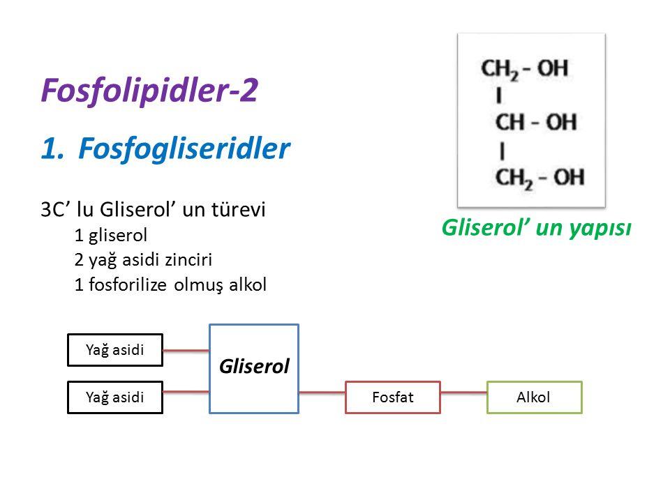 Fosfolipidler-2 1.Fosfogliseridler 3C' lu Gliserol' un türevi 1 gliserol 2 yağ asidi zinciri 1 fosforilize olmuş alkol Gliserol' un yapısı Yağ asidi Gliserol FosfatAlkol