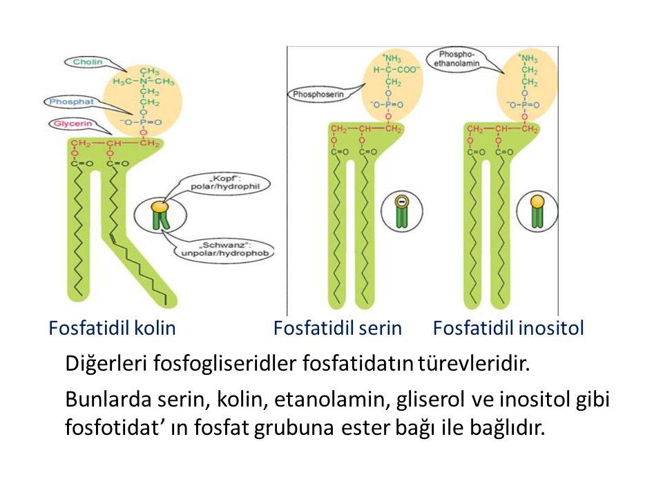 Fosfatidil kolin Fosfatidil serin Fosfatidil inositol Diğerleri fosfogliseridler fosfatidatın türevleridir.