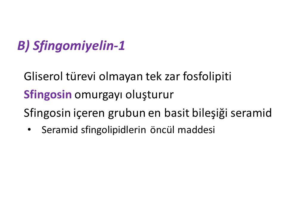 B) Sfingomiyelin-1 Gliserol türevi olmayan tek zar fosfolipiti Sfingosin omurgayı oluşturur Sfingosin içeren grubun en basit bileşiği seramid Seramid sfingolipidlerin öncül maddesi