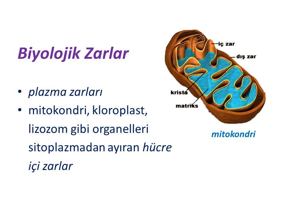 Hidrofilik başlar, hücre içindeki su esaslı sitoplazmaya ve dışarıdaki su esaslı hücreler arası sıvıya dönüktür.