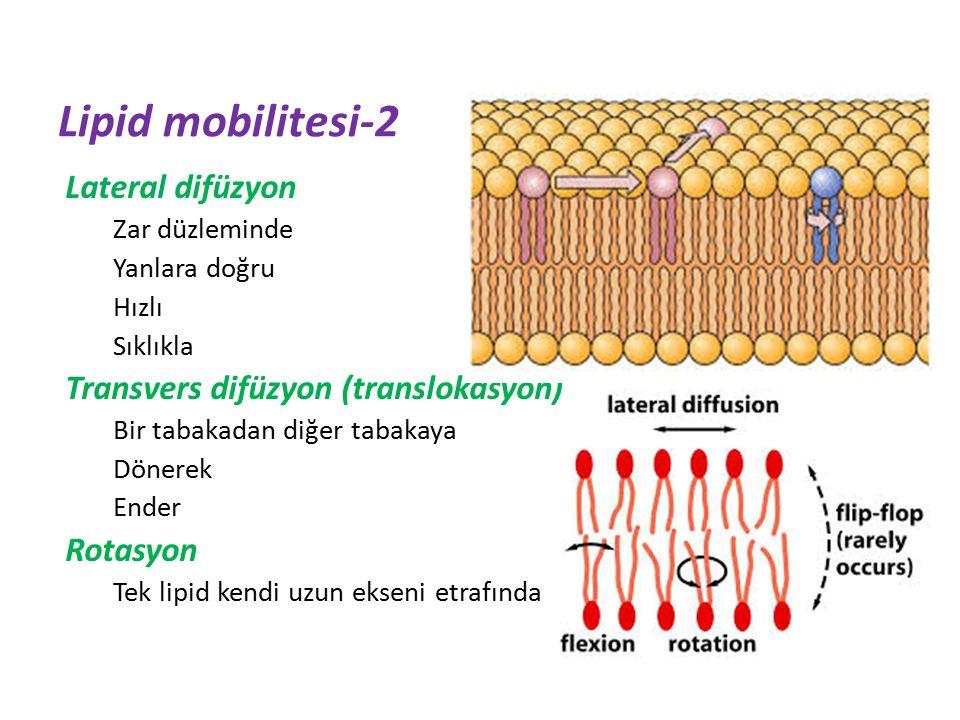 Lateral difüzyon Zar düzleminde Yanlara doğru Hızlı Sıklıkla Transvers difüzyon (translokasyon) Bir tabakadan diğer tabakaya Dönerek Ender Rotasyon Tek lipid kendi uzun ekseni etrafında Lipid mobilitesi-2