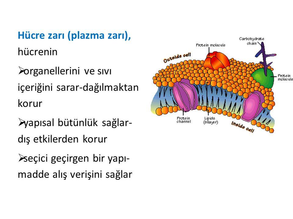 Hücre zarı (plazma zarı), hücrenin  organellerini ve sıvı içeriğini sarar-dağılmaktan korur  yapısal bütünlük sağlar- dış etkilerden korur  seçici geçirgen bir yapı- madde alış verişini sağlar