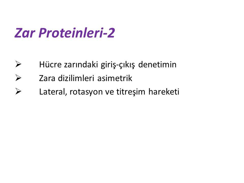 Zar Proteinleri-2  Hücre zarındaki giriş-çıkış denetimin  Zara dizilimleri asimetrik  Lateral, rotasyon ve titreşim hareketi