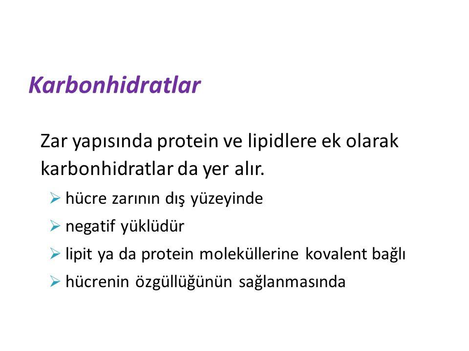 Karbonhidratlar Zar yapısında protein ve lipidlere ek olarak karbonhidratlar da yer alır.