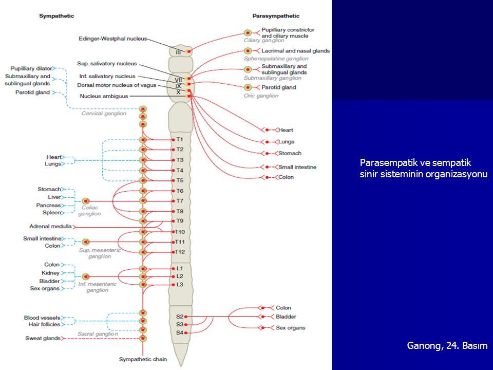 Çölyak ganglionSuperior mezenterik ganglion Kollateral ganglion: Çölyak ganglion, Superior mezenterik ganglion, İnferior mezenterik ganglion Sempatik sistem