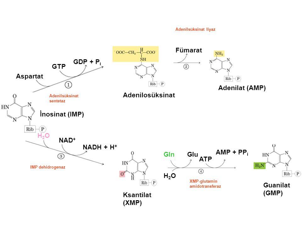 İnosinat (IMP) H2OH2O NAD + NADH + H + Ksantilat (XMP) H2OH2O GlnGlu ATP AMP + PP i Guanilat (GMP) Aspartat GTP GDP + P i Adenilosüksinat Fümarat Adenilat (AMP) Adenilsüksinat sentetaz Adenilsüksinat liyaz IMP dehidrogenaz XMP-glutamin amidotransferaz