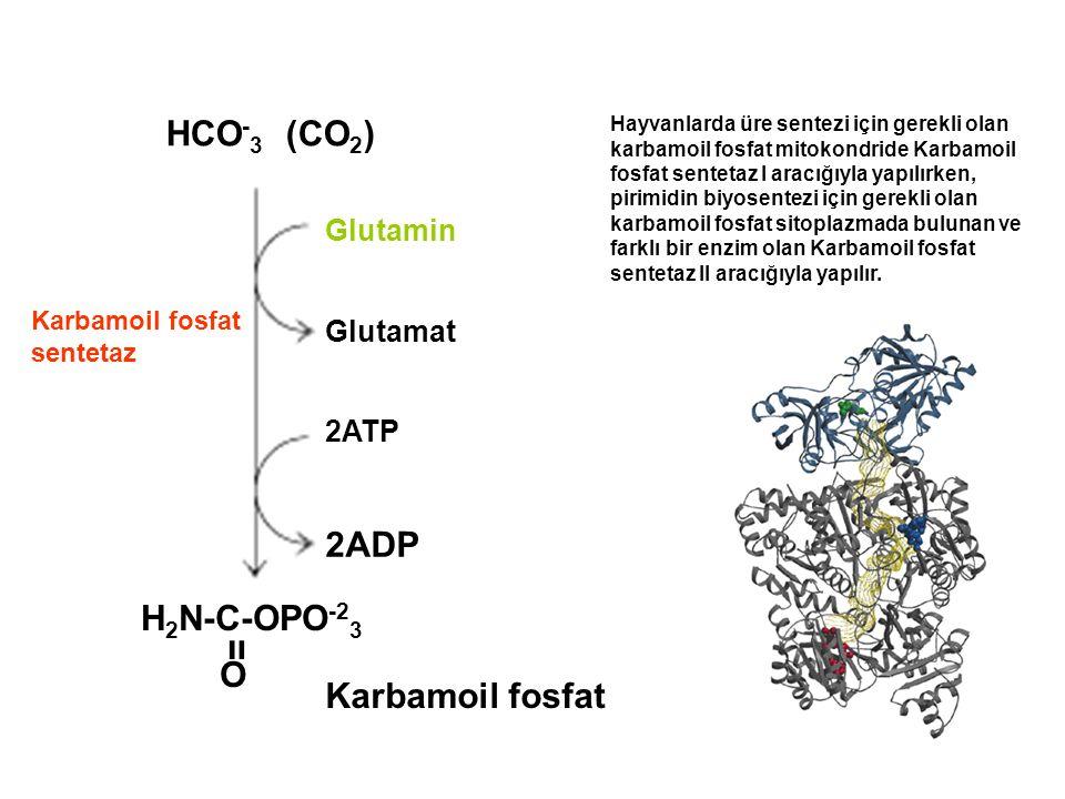 HCO - 3 (CO 2 ) H 2 N-C-OPO -2 3 װ O Karbamoil fosfat 2ATP 2ADP Glutamin Glutamat Karbamoil fosfat sentetaz Hayvanlarda üre sentezi için gerekli olan karbamoil fosfat mitokondride Karbamoil fosfat sentetaz I aracığıyla yapılırken, pirimidin biyosentezi için gerekli olan karbamoil fosfat sitoplazmada bulunan ve farklı bir enzim olan Karbamoil fosfat sentetaz II aracığıyla yapılır.