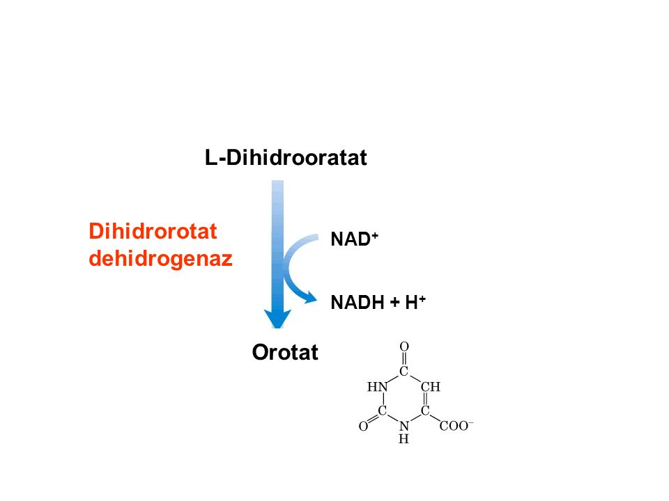 L-Dihidrooratat Orotat NAD + NADH + H + Dihidrorotat dehidrogenaz