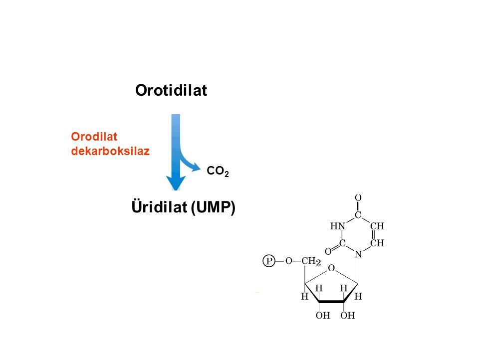 Orotidilat Üridilat (UMP) CO 2 Orodilat dekarboksilaz