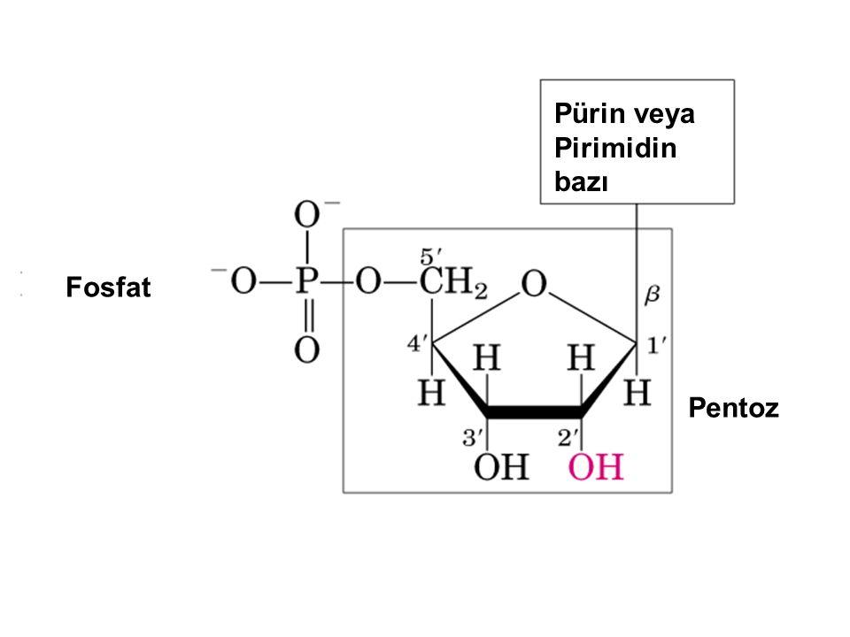 Pürin veya Pirimidin bazı Pentoz Fosfat