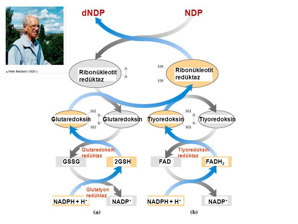 NDPdNDP Ribonükleotit redüktaz Glutaredoksin Tiyoredoksin GSSG2GSHFADFADH 2 NADPH + H + NADP + Glutatyon redüktaz Glutaredoksin redüktaz Tiyoredoksin redüktaz