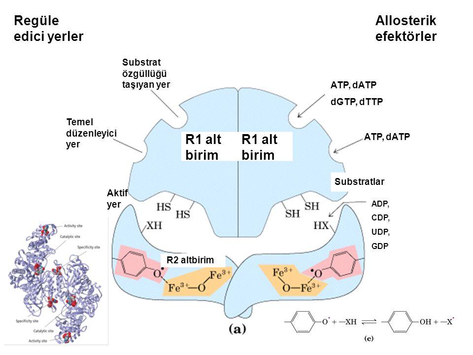 R1 alt birim Regüle edici yerler Allosterik efektörler Substrat özgüllüğü taşıyan yer Temel düzenleyici yer Aktif yer R2 altbirim ATP, dATP dGTP, dTTP ATP, dATP Substratlar ADP, CDP, UDP, GDP