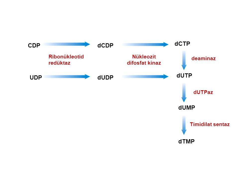 CDP UDPdUDP dCDP dCTP dUTP dUMP dTMP Ribonükleotid redüktaz Nükleozit difosfat kinaz deaminaz dUTPaz Timidilat sentaz