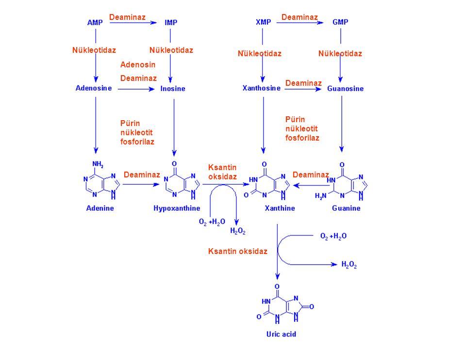 Deaminaz Nükleotidaz Adenosin Deaminaz Pürin nükleotit fosforilaz Deaminaz Ksantin oksidaz