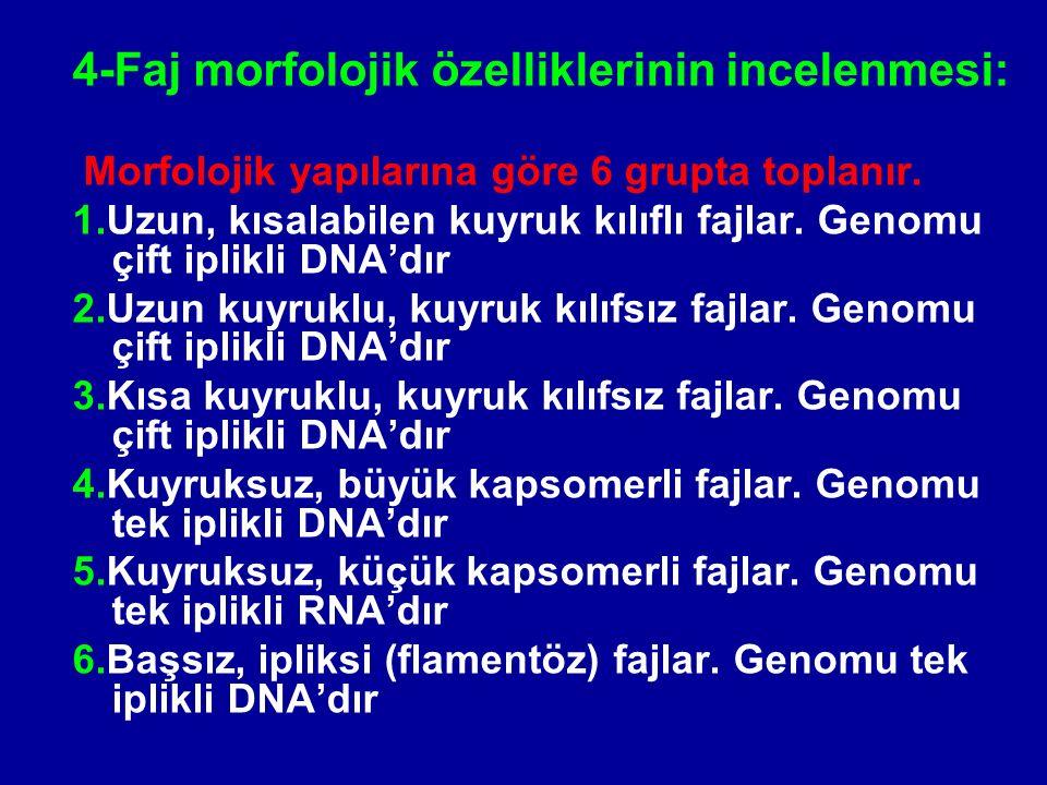 4-Faj morfolojik özelliklerinin incelenmesi: Morfolojik yapılarına göre 6 grupta toplanır. 1.Uzun, kısalabilen kuyruk kılıflı fajlar. Genomu çift ipli