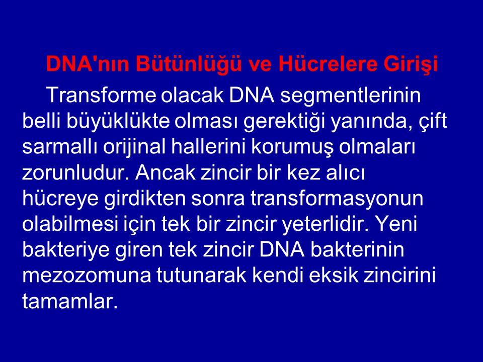 DNA'nın Bütünlüğü ve Hücrelere Girişi Transforme olacak DNA segmentlerinin belli büyüklükte olması gerektiği yanında, çift sarmallı orijinal hallerini