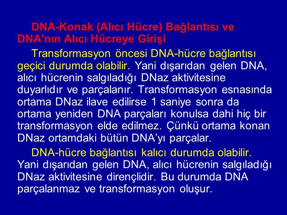 DNA-Konak (Alıcı Hücre) Bağlantısı ve DNA'nın Alıcı Hücreye Girişi Transformasyon öncesi DNA-hücre bağlantısı geçici durumda olabilir. Yani dışarıdan