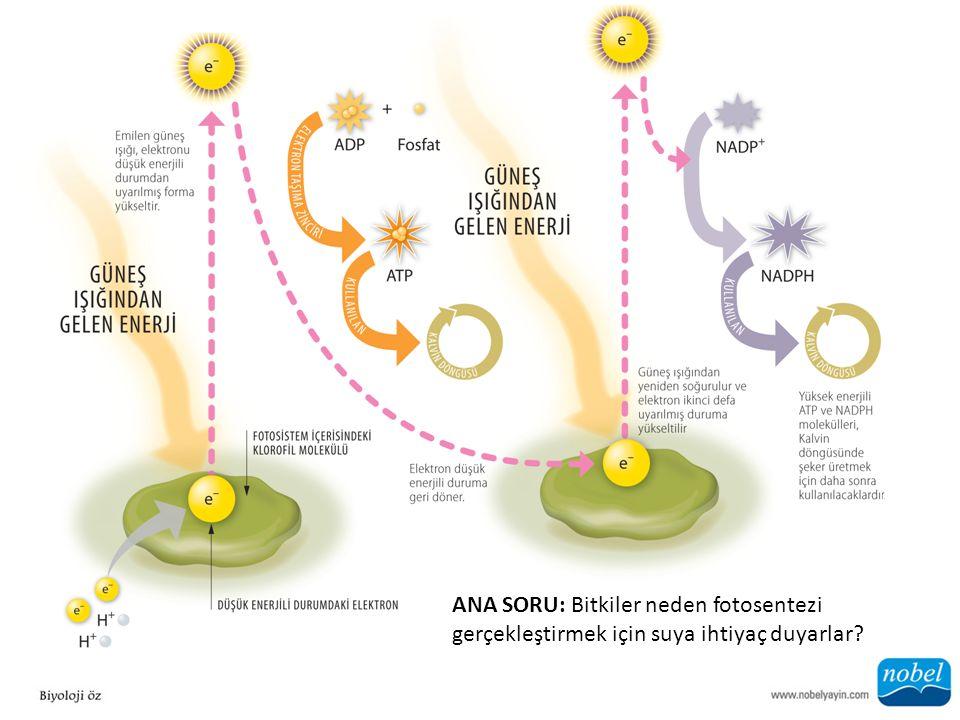 ANA SORU: Bitkiler neden fotosentezi gerçekleştirmek için suya ihtiyaç duyarlar?