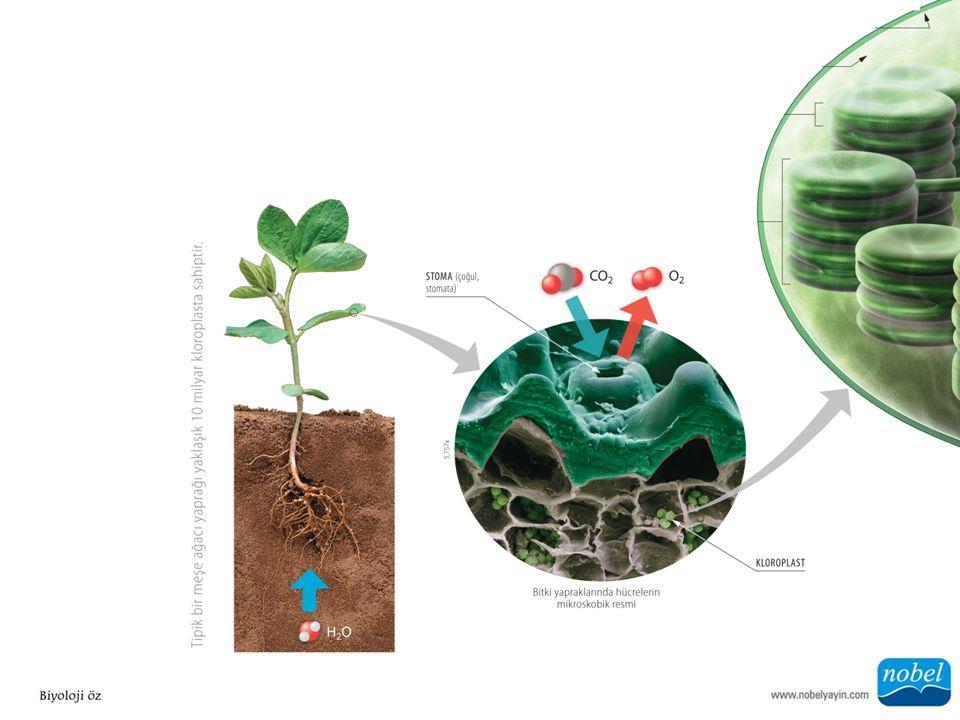 ANA SORU: Neden bitkilerin fotosentez ile ilişkili bölümleri yeşil görünmektedir?