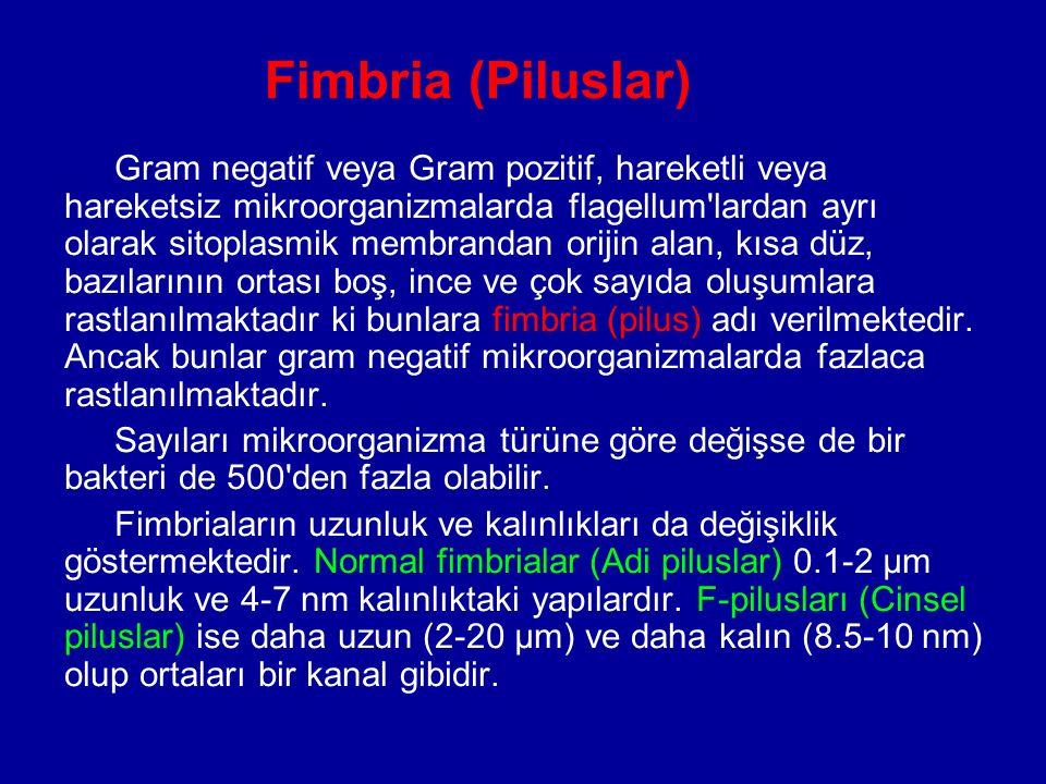 Fimbria (Piluslar) Gram negatif veya Gram pozitif, hareketli veya hareketsiz mikroorganizmalarda flagellum'lardan ayrı olarak sitoplasmik membrandan o
