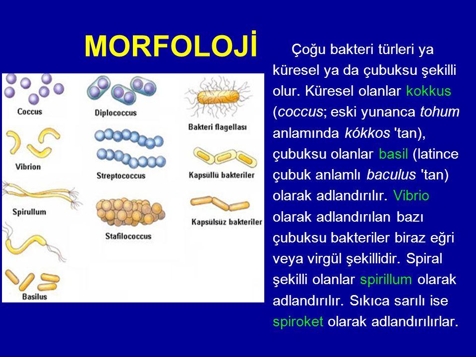 MORFOLOJİ Çoğu bakteri türleri ya küresel ya da çubuksu şekilli olur. Küresel olanlar kokkus (coccus; eski yunanca tohum anlamında kókkos 'tan), çubuk