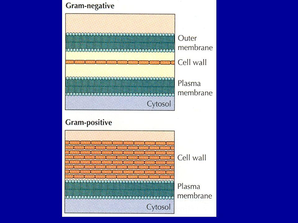Fimbria (Piluslar) Gram negatif veya Gram pozitif, hareketli veya hareketsiz mikroorganizmalarda flagellum lardan ayrı olarak sitoplasmik membrandan orijin alan, kısa düz, bazılarının ortası boş, ince ve çok sayıda oluşumlara rastlanılmaktadır ki bunlara fimbria (pilus) adı verilmektedir.