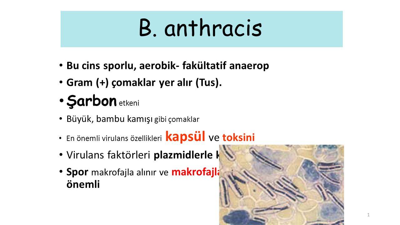 1 B. anthracis Bu cins sporlu, aerobik- fakültatif anaerop Gram (+) çomaklar yer alır (Tus). Şarbon etkeni Büyük, bambu kamışı gibi çomaklar En önemli