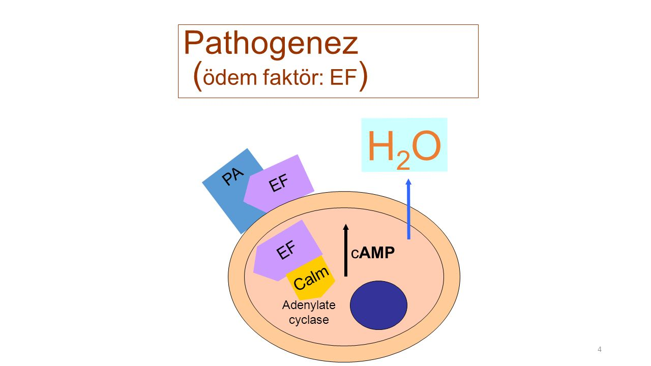 4 PA EF Pathogenez ( ödem faktör: EF ) EF Calm Adenylate cyclase cAMP H2OH2O